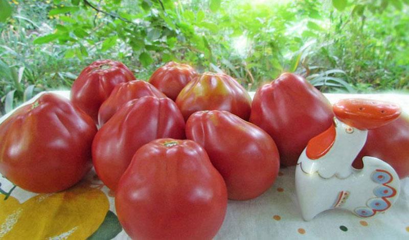 Томатный сорт груша красная — описание и выращивание
