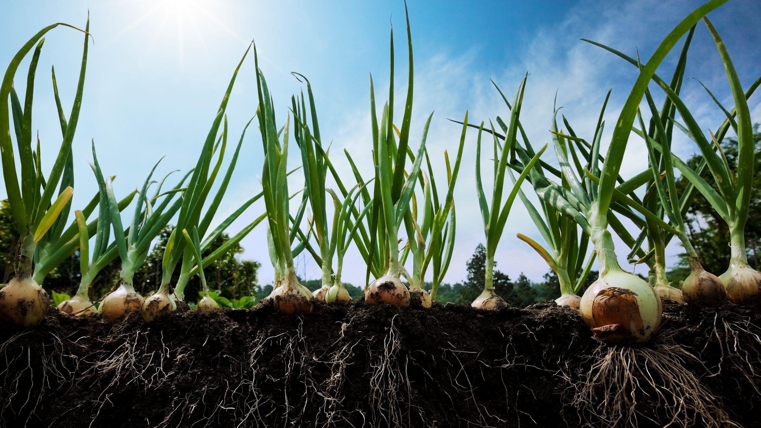 Лук сибирский репчатый однолетний: описание сорта, правила выращивания из севка и семян, уход за культурой, сбор и хранение урожая