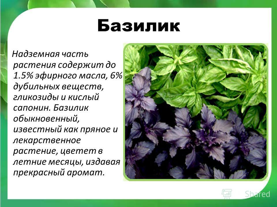 Полезные свойства и противопоказания базилика для женщин: в чем лечебный эффект или вред для здоровья организма, можно ли фиолетовый при грудном вскармливании (гв)? русский фермер