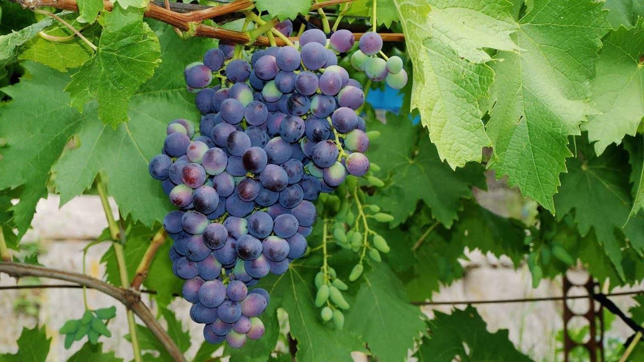 """Описание сорта винограда """"молдова"""": выращивание, полив, хранение"""