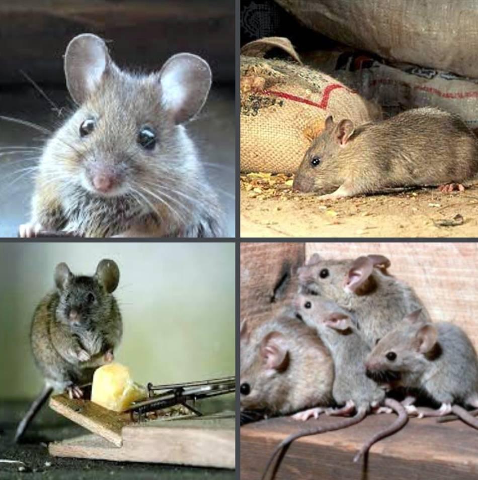 Грызуны-вредители: мыши и крысы