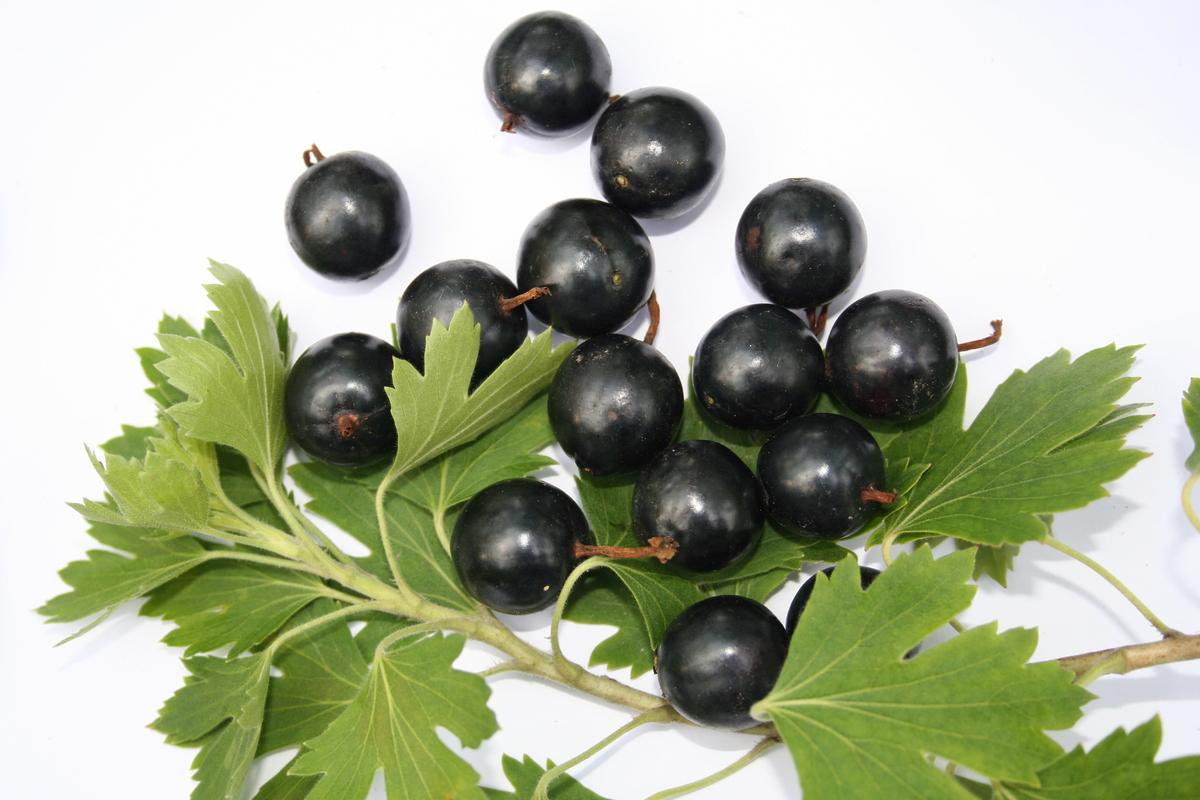 Смородина черный жемчуг: описание сорта черной смородины, выращивание - посадка и уход