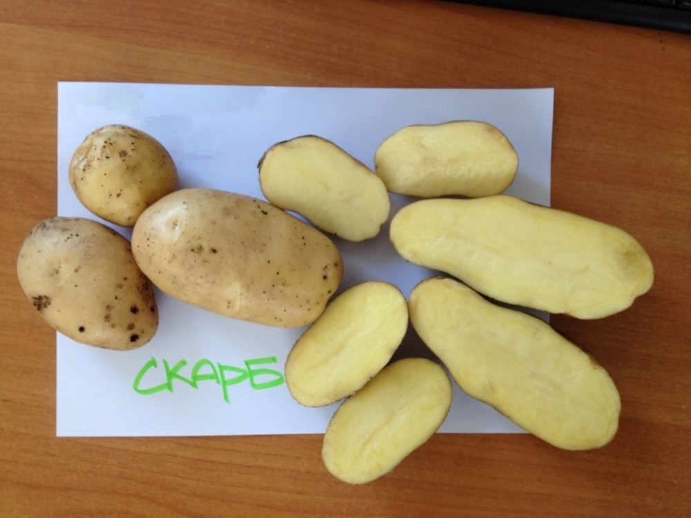 Картофель уладар — описание сорта, фото, отзывы, посадка и уход