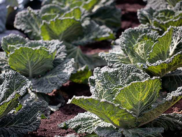 Выращивание савойской капусты: рассада, посадка в открытый грунт, уход | огородники