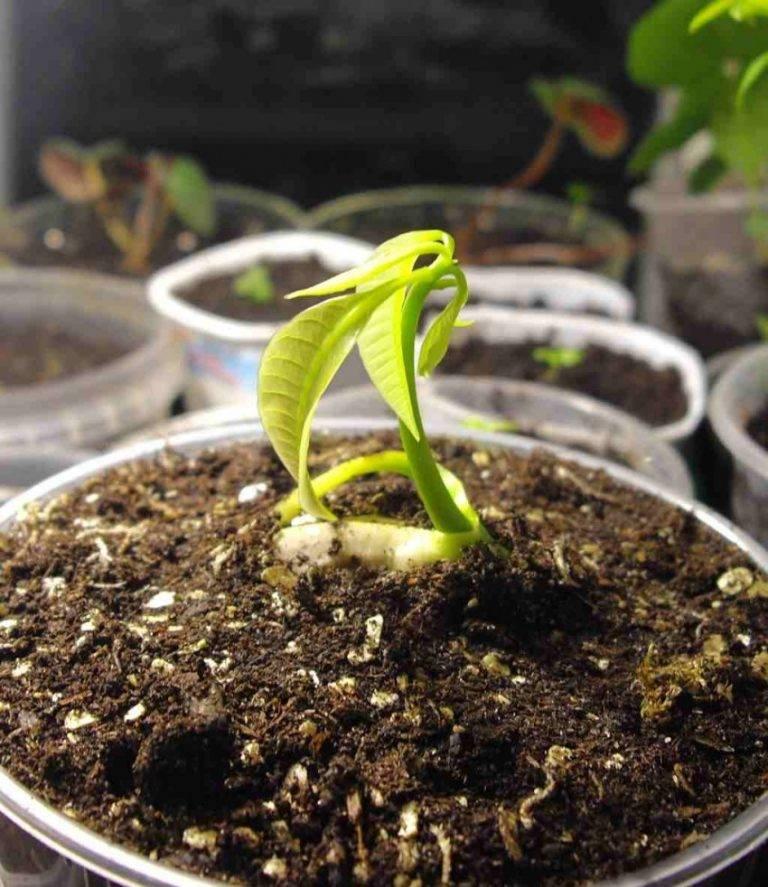 Как вырастить манго из косточки в домашних условиях: видео пошагово