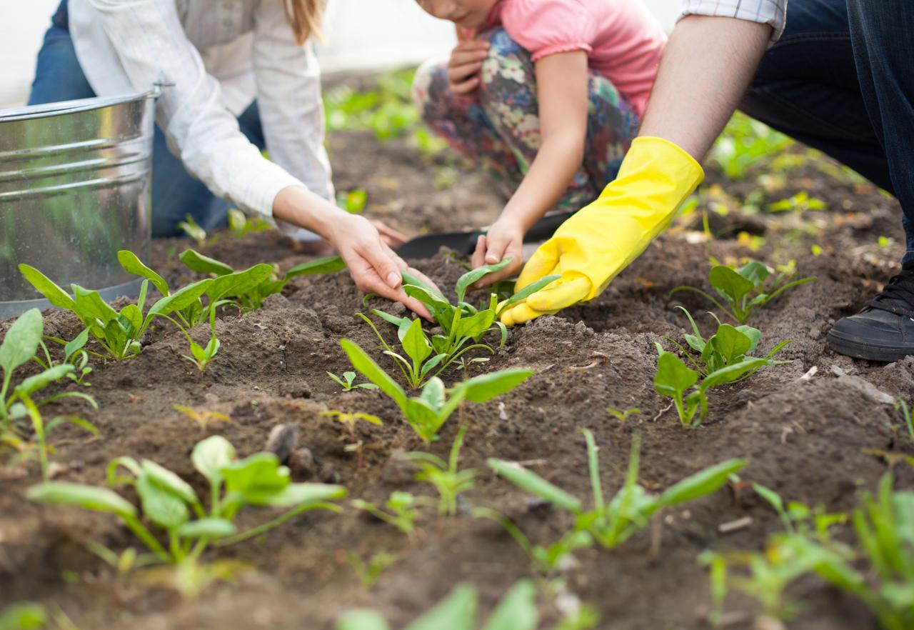 Кларкия – выращивание из семян рассадой