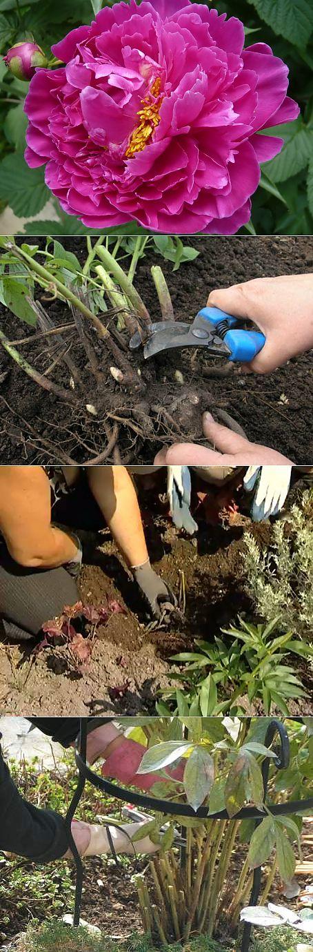 Выращивание пиона древовидного в открытом грунте: описание, посадка и уход