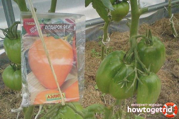 Вкусный и устойчивый сорт с повышенным содержанием бета-каротина — томат «подарок феи»: отзывы и фото урожая
