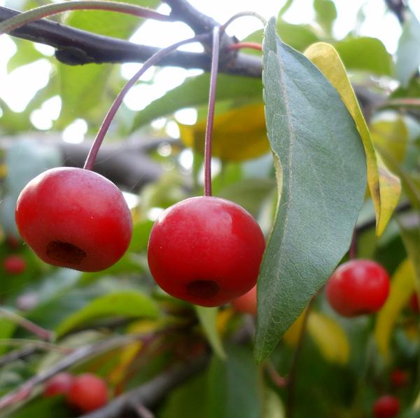 Описание яблони сорта Ягодная Сибирячка, посадка и выращивание из семян