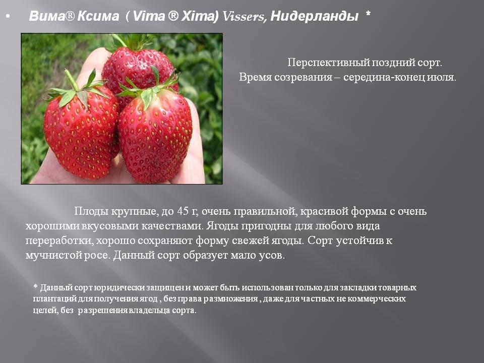 Клубника вима: описание сорта, разновидности, отзывы, фото