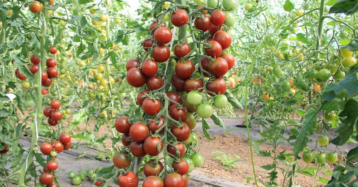 Особенности выращивания томата марьина роща: описание и характеристика сорта