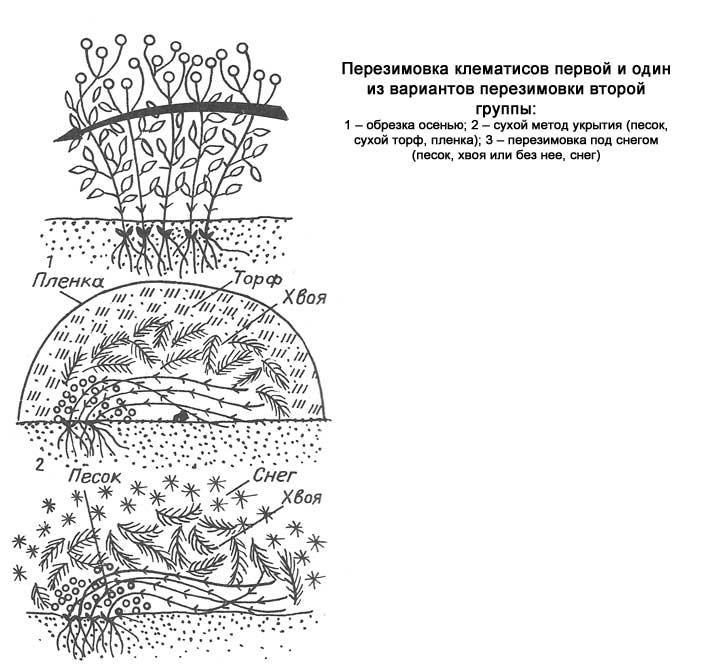Клематисы - сорта для подмосковья и сибири с фото