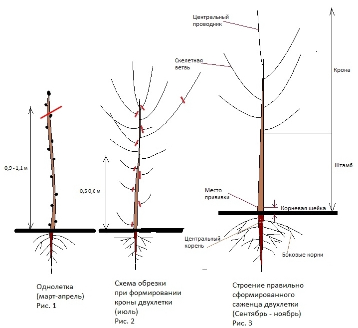 Урожайные сорта колоновидных груш