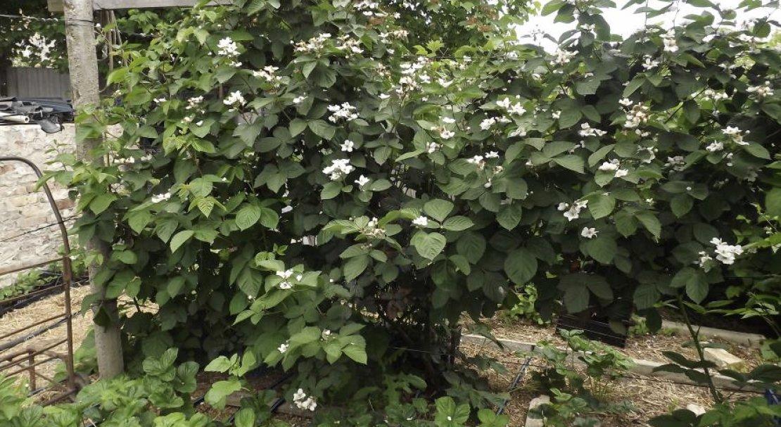 Ежевика – посадка и уход за разными сортами в открытом грунте