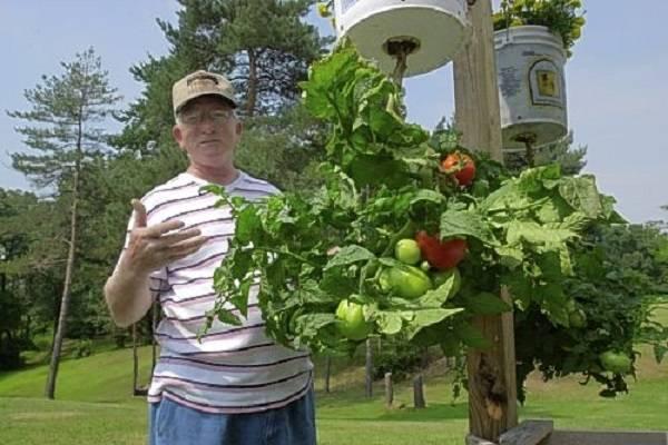 Как посадить помидоры вверх ногами, метод выращивания растений в перевернутом виде