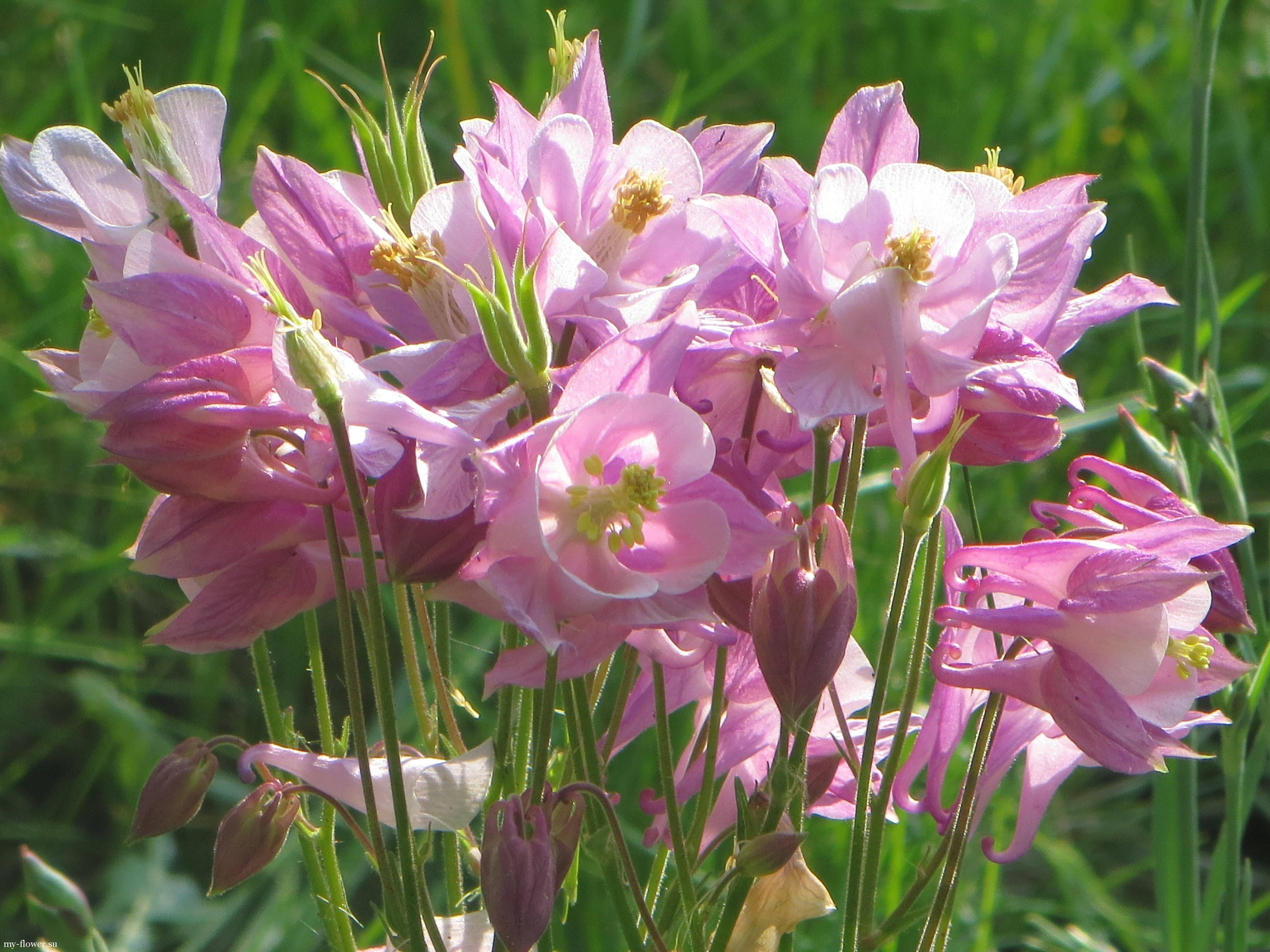 Посадка аквилегии из семян в домашних условиях и в саду