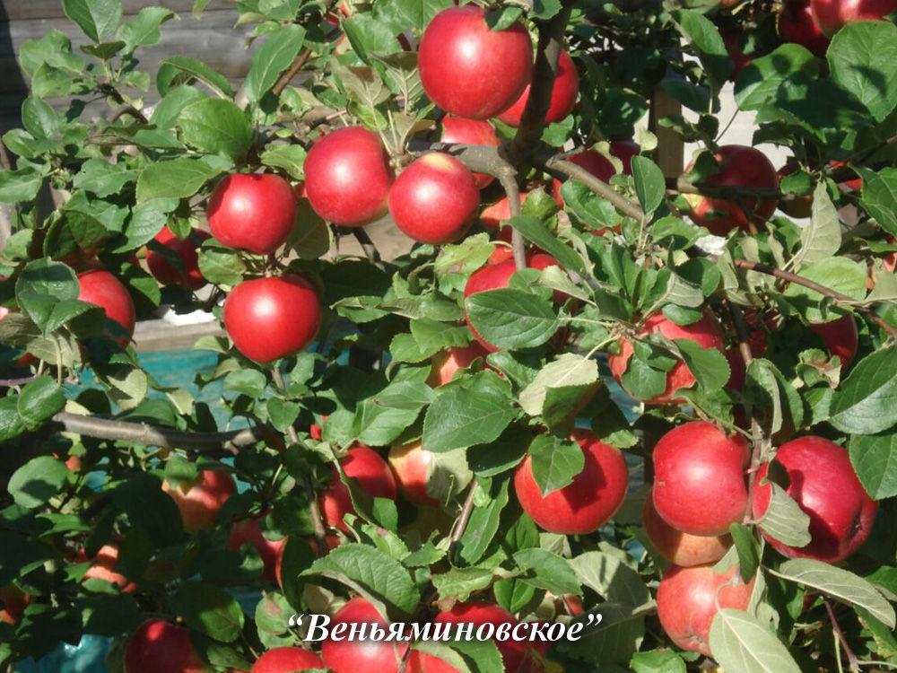 Яблоня веньяминовское: описание и характеристики сорта, выращивание и размножение