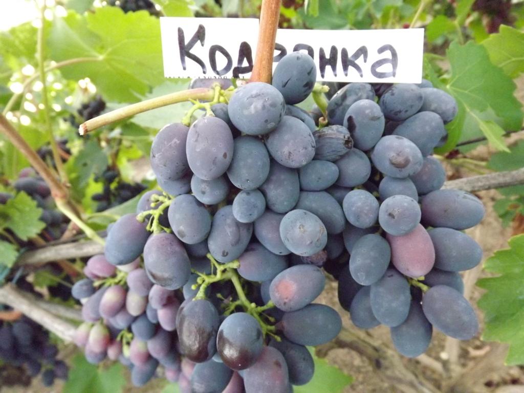 София — виноградная красавица с украины. история выращивания, возможные проблемы и пути их решения