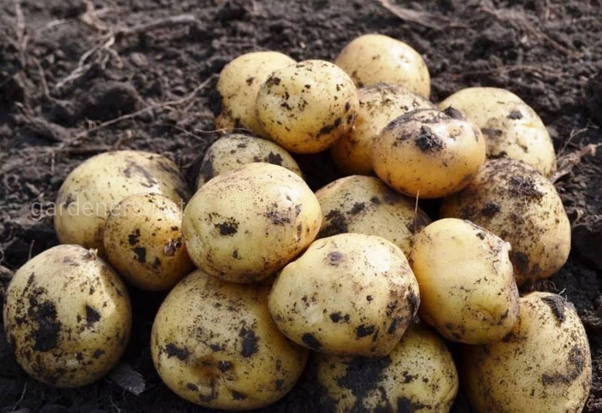 Картофель луговской: характеристика и описание сорта, фото, отзывы
