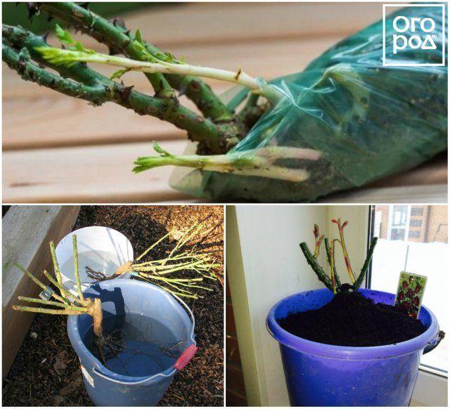 Как хранить розы с открытой корневой системой до посадки?