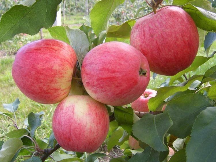 Описание сорта яблони зимняя красавица: фото яблок, важные характеристики, урожайность с дерева