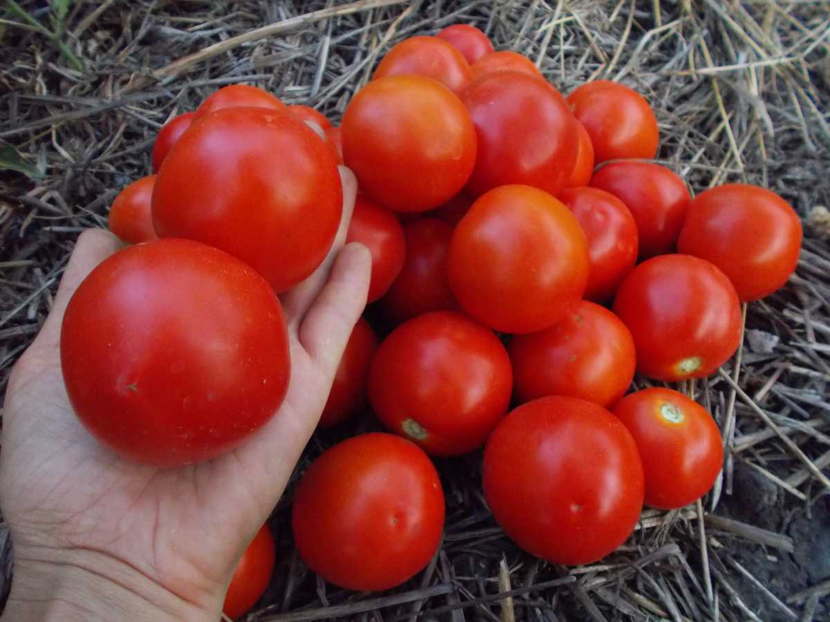 Сорта томатов для открытого грунта, низкорослые, самоопыляемые и другие: какие гибриды помидоров лучше сажать в средней полосе россии, на урале и в сибири? русский фермер