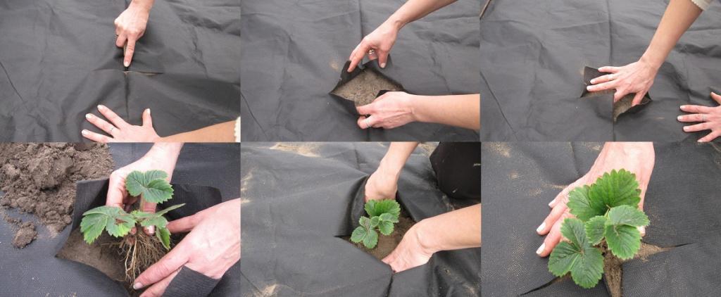 Техника посадки клубники под черный укрывной материал