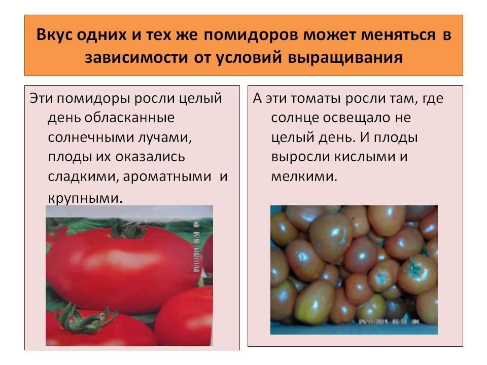 Необычный сорт помидоров «палка»