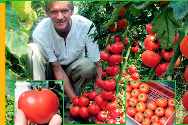 """Томат """"айвенго"""" f1: описание плодов помидоров, фото сорта, страна происхождения, урожайность, а также достоинства русский фермер"""