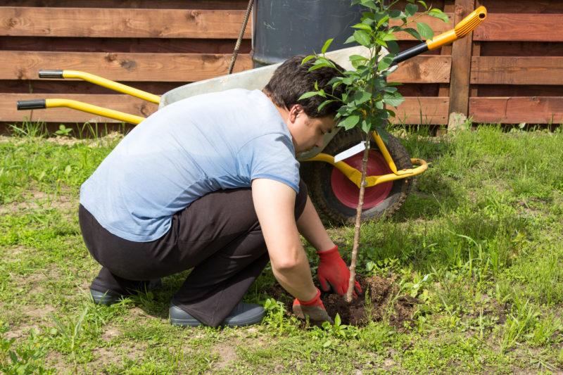 Пошаговая инструкция по посадке черешни, основы ухода за деревом