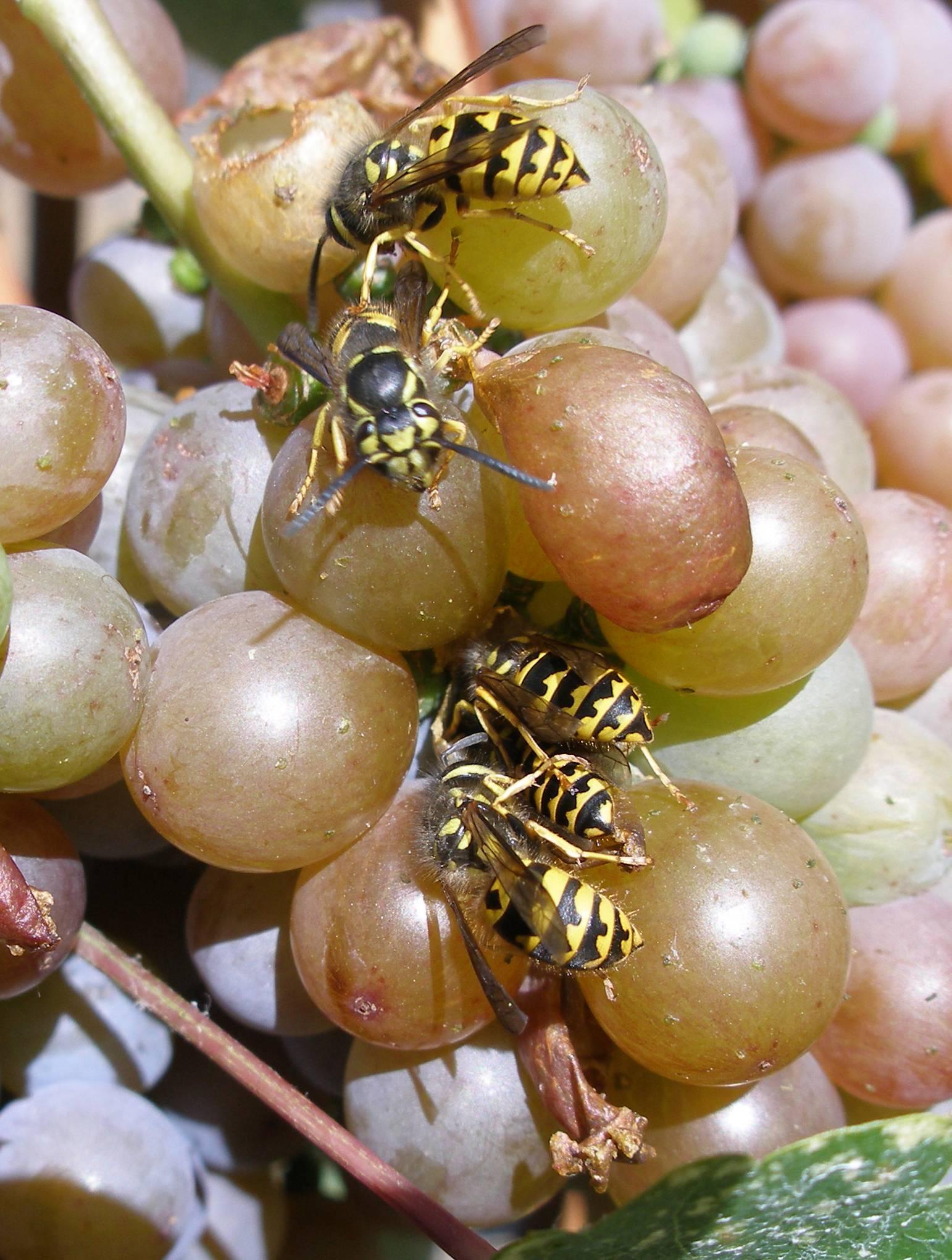 Защита винограда от птиц и ос во время его созревания: эффективные методы борьбы и спасения урожая