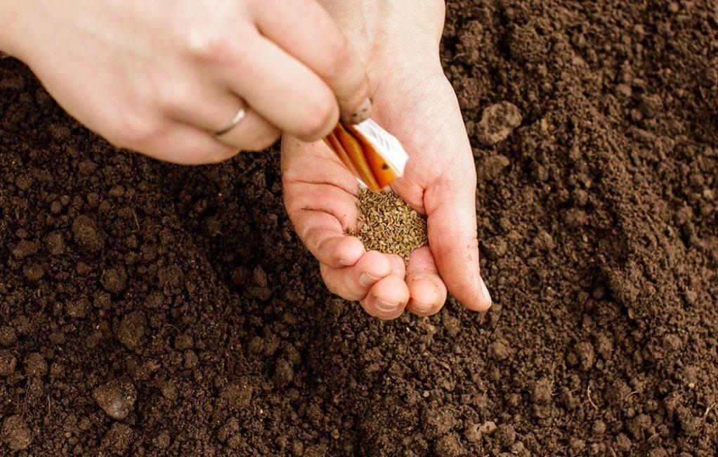 Выращивание пастернака из семян: посадка и уход, сорта пастернака