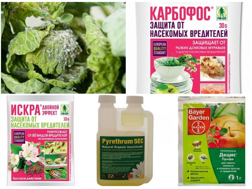 Как защитить капусту от вредителей народными средствами: чем обрабатывать растение