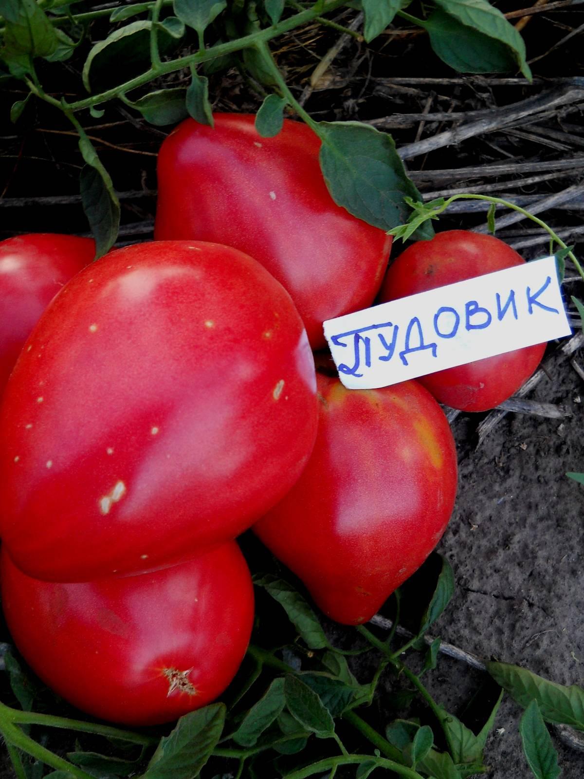 Лучшие сорта томатов для волгоградской области с фото