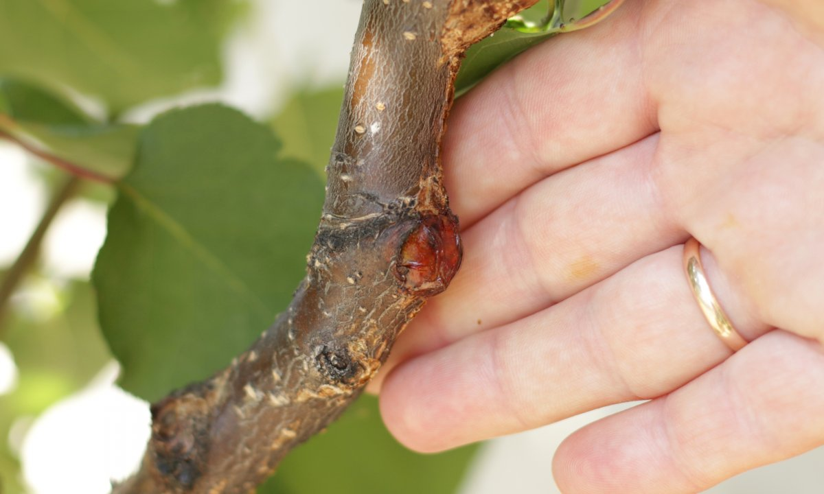 Болезни и вредители абрикосовых деревьев, лечение и профилактика
