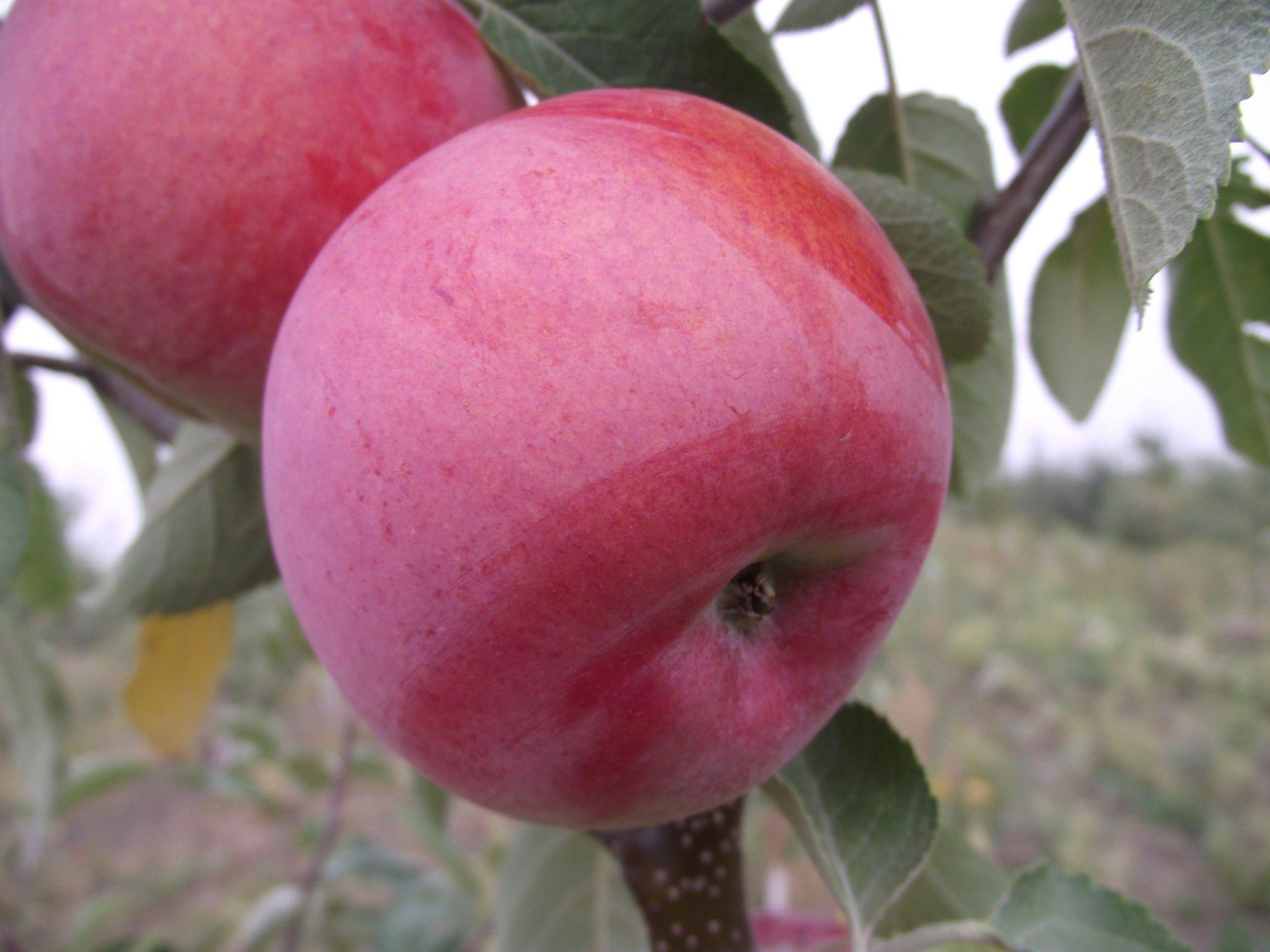 Описание и характеристики яблони сорта Строевское, тонкости выращивания