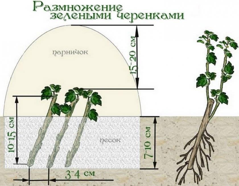 Размножение ежевики зимой, весной и осенью, черенками, отводками, семенами