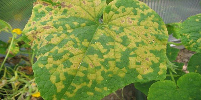 Почему листья свеклы желтеют, краснеют, скручиваются и вянут