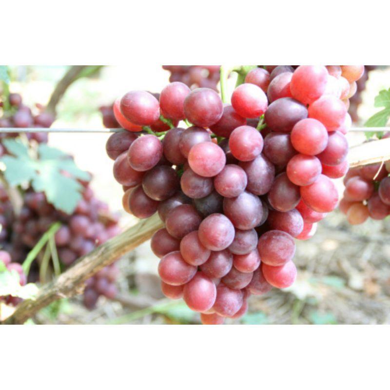 Виноград подарок ирине: описание сорта, характеристики. чем укрыть виноград на зиму