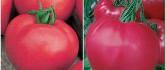 Сладкие томаты в розовом цвете «пинк леди» — описание и характеристики гибрида f1