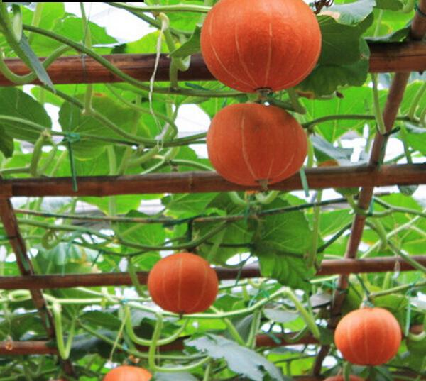 Выращивание тыквы и уход за растением в открытом грунте, в том числе в средней полосе россии, ленинградской области, сибири, на донбассе и в других регионах