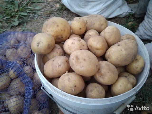 Картофель тимо: описание сорта, фото, сроки созревания, отзывы