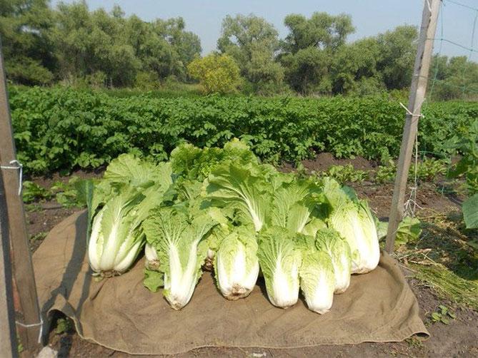 Как вырастить пекинскую капусту в домашних условиях: особенности посадки, уход, советы