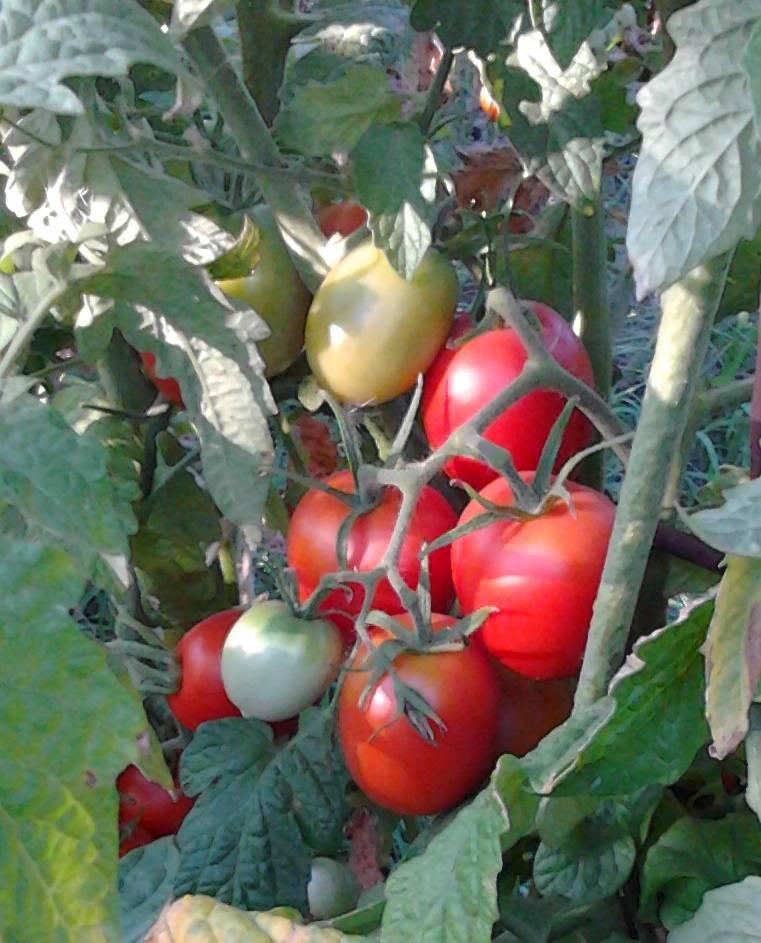 Сорта томатов для краснодарского края для открытого грунта, помидоры для кубани