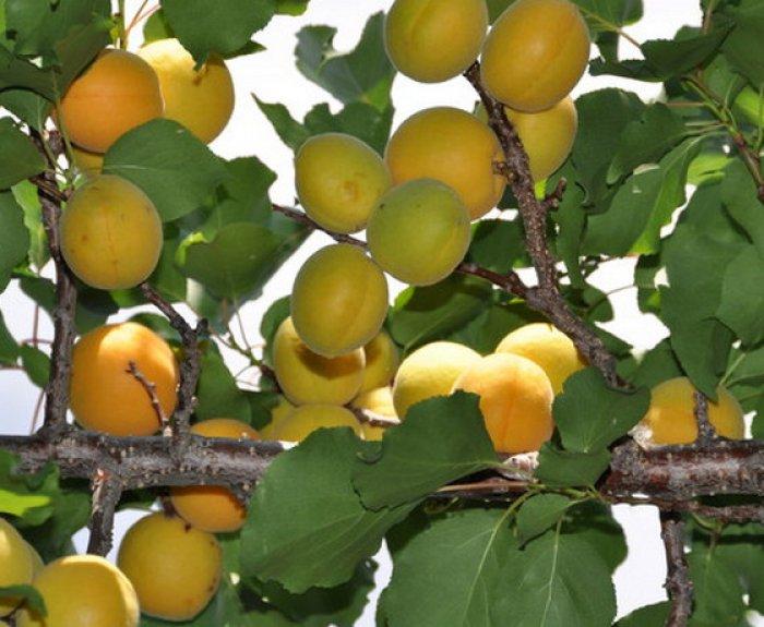 Абрикос маньчжурский: описание и характеристики сорта, урожайность с фото