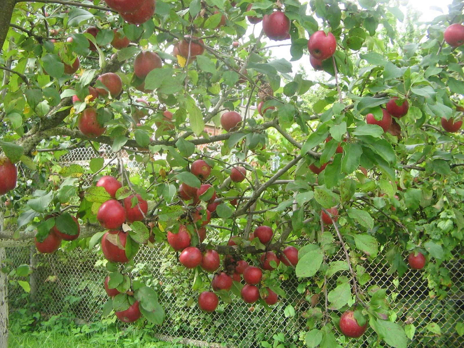 О яблоне коваленковское,описание, характеристики сорта,агротехника выращивания