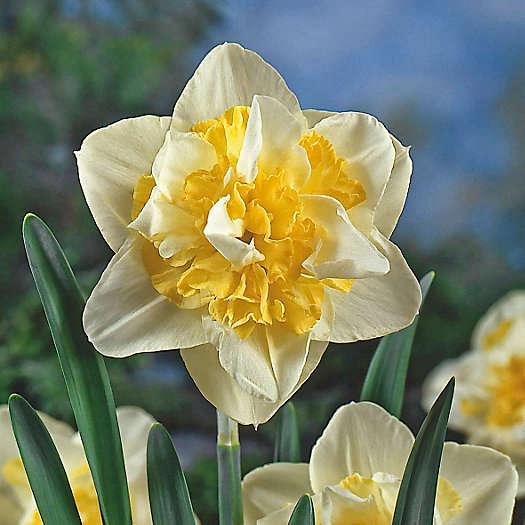 Нарцисс ирен коупленд: описание сорта и характеристики, посадка и уход