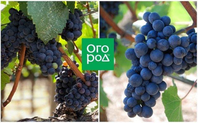 Виноград пино нуар: описание и особенности сорта, посадка и уход, размножение