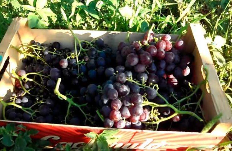 Виноград рошфор – шедевр любительской селекции