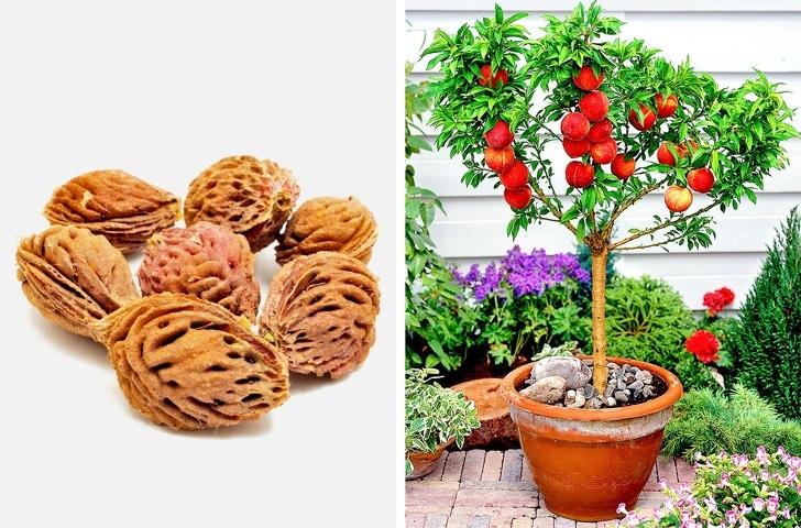 Как вырастить персик в домашних условиях из косточки, а также, будет ли он плодоносить
